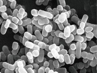 ハーブ 乳酸菌