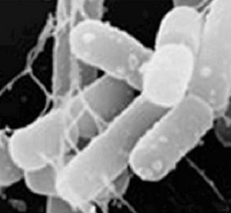カルグルト ラブレ菌