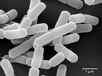 カルグルト ガセリ菌SP