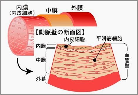 アルギニン 内皮細胞