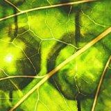 【クロロフィル】葉緑素は「デトックス作用」と「造血作用」を持つスーパー色素