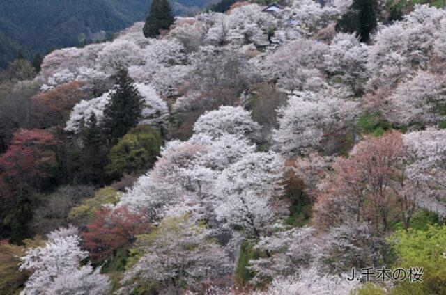 吉野山 下千本の桜