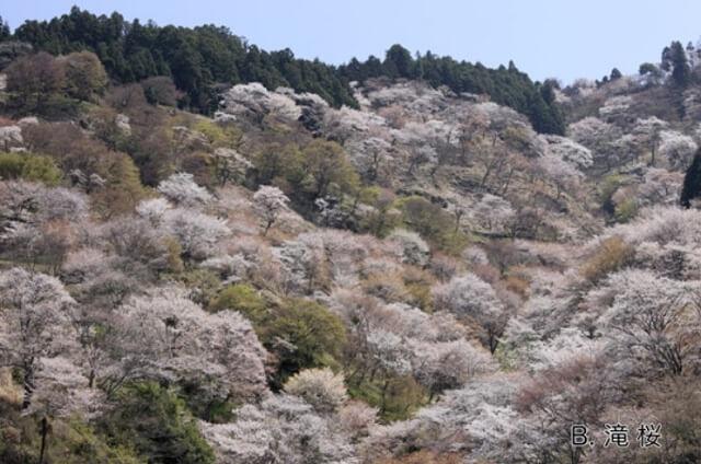 吉野山 上千本の桜